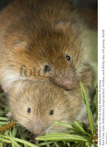 Red Tree Vole (Arborimus longicaudus) mother and thirty day old young, North America