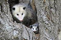 Virginia Opossum (Didelphis virginiana) mother and