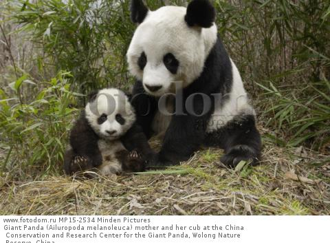 Giant Panda (Ailuropoda melanoleuca) mother and her cub at the China Conservation and Research Center for the Giant Panda, Wolong Nature Reserve, China