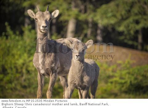 Bighorn Sheep (Ovis canadensis) mother and lamb, Banff National Park, Alberta, Canada