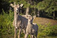 Bighorn Sheep (Ovis canadensis) mother and lamb, B