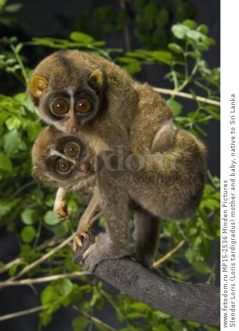 Slender Loris (Loris tardigradus) mother and baby, native to Sri Lanka