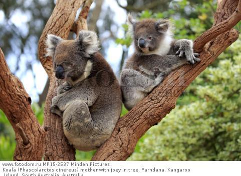Koala (Phascolarctos cinereus) mother with joey in tree, Parndana, Kangaroo Island, South Australia, Australia