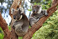 Koala (Phascolarctos cinereus) mother with joey in