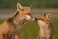 Red Fox (Vulpes vulpes) mother and pup nuzzling, B