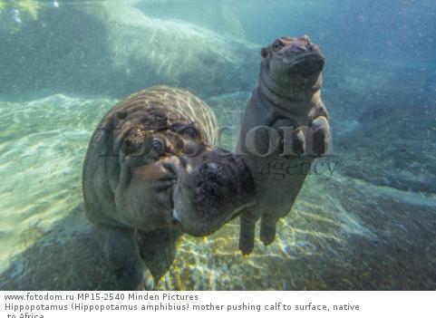 Hippopotamus (Hippopotamus amphibius) mother pushing calf to surface, native to Africa