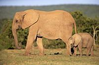 African Elephant (Loxodonta africana) mother and c