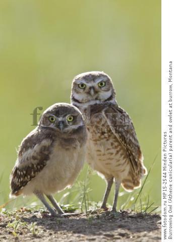 Burrowing Owl (Athene cunicularia) parent and owlet at burrow, Montana