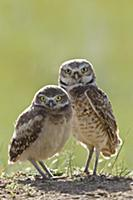 Burrowing Owl (Athene cunicularia) parent and owle