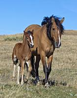 Mustang (Equus caballus) mother and foal, Oshoto,