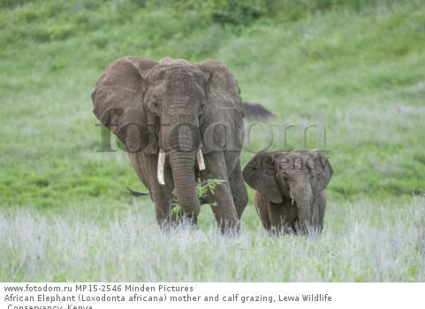 African Elephant (Loxodonta africana) mother and calf grazing, Lewa Wildlife Conservancy, Kenya