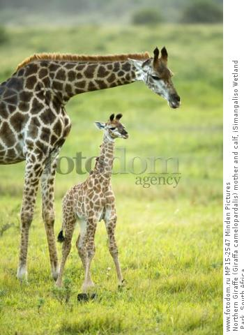 Northern Giraffe (Giraffa camelopardalis) mother and calf, iSimangaliso Wetland Park, South Africa