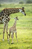 Northern Giraffe (Giraffa camelopardalis) mother a