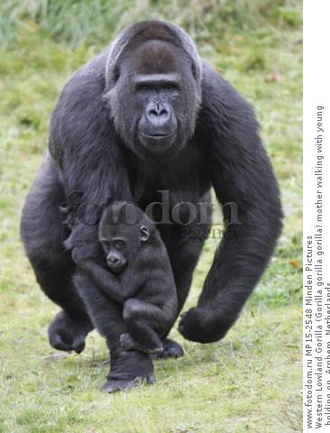 Western Lowland Gorilla (Gorilla gorilla gorilla) mother walking with young holding on, Arnhem, Netherlands