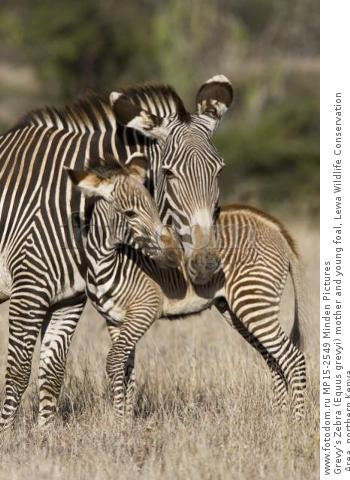 Grevy's Zebra (Equus grevyi) mother and young foal, Lewa Wildlife Conservation Area, northern Kenya