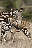 Grevy's Zebra (Equus grevyi) mother and young foal