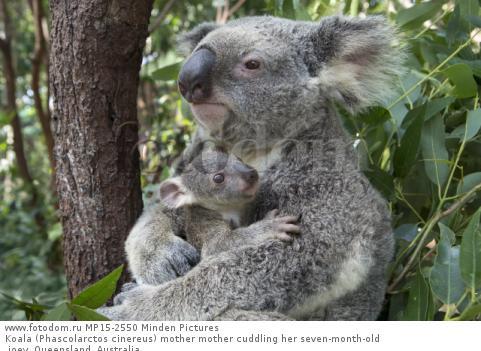 Koala (Phascolarctos cinereus) mother mother cuddling her seven-month-old joey, Queensland, Australia