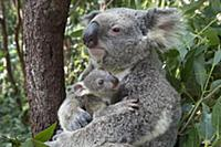 Koala (Phascolarctos cinereus) mother mother cuddl