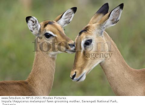 Impala (Aepycerus melampus) fawn grooming mother, Serengeti National Park, Tanzania