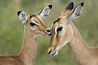 Impala (Aepycerus melampus) fawn grooming mother,