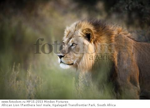 African Lion (Panthera leo) male, Kgalagadi Transfrontier Park, South Africa