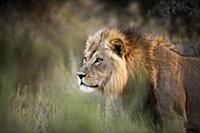 African Lion (Panthera leo) male, Kgalagadi Transf