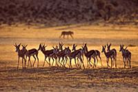 Springbok (Antidorcas marsupialis) group running f