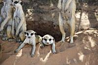 Meerkat (Suricata suricatta) group at burrow, Kgal