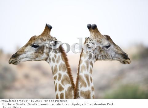 Northern Giraffe (Giraffa camelopardalis) pair, Kgalagadi Transfrontier Park, South Africa