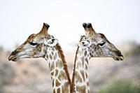 Northern Giraffe (Giraffa camelopardalis) pair, Kg