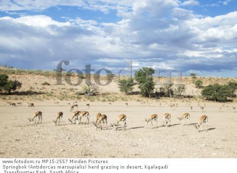 Springbok (Antidorcas marsupialis) herd grazing in desert, Kgalagadi Transfrontier Park, South Africa