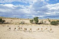 Springbok (Antidorcas marsupialis) herd grazing in