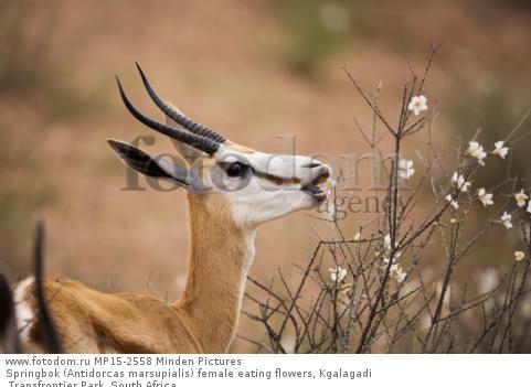 Springbok (Antidorcas marsupialis) female eating flowers, Kgalagadi Transfrontier Park, South Africa