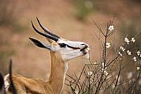Springbok (Antidorcas marsupialis) female eating f