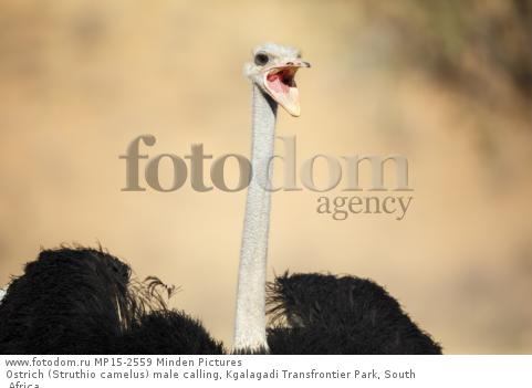 Ostrich (Struthio camelus) male calling, Kgalagadi Transfrontier Park, South Africa
