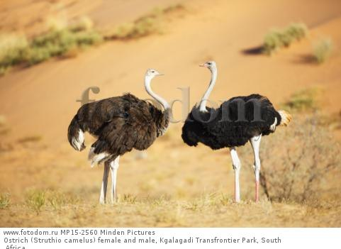 Ostrich (Struthio camelus) female and male, Kgalagadi Transfrontier Park, South Africa