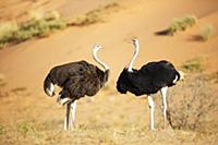 Ostrich (Struthio camelus) female and male, Kgalag