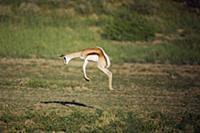 Springbok (Antidorcas marsupialis) pronking, Kgala