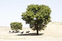 Oryx (Oryx gazella) herd in shade in desert, Kgala