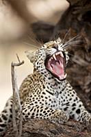 Leopard (Panthera pardus) yawning, Kgalagadi Trans