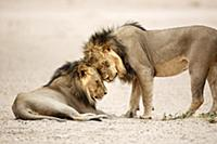 African Lion (Panthera leo) males greeting, Kgalag