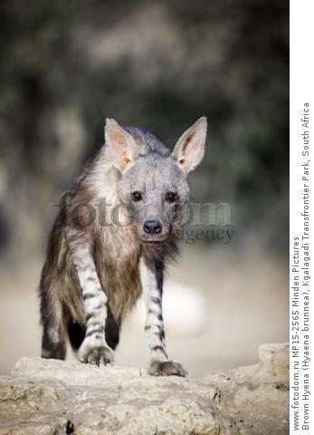 Brown Hyena (Hyaena brunnea), Kgalagadi Transfrontier Park, South Africa