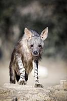 Brown Hyena (Hyaena brunnea), Kgalagadi Transfront