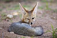 Cape Fox (Vulpes chama), Kgalagadi Transfrontier P
