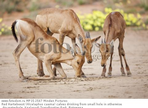 Red Hartebeest (Alcelaphus caama) calves drinking from small hole in otherwise dry waterhole, Kgalagadi Transfrontier Park, Botswana