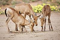 Red Hartebeest (Alcelaphus caama) calves drinking