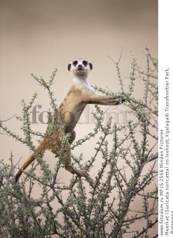 Meerkat (Suricata suricatta) on lookout, Kgalagadi Transfrontier Park, Botswana