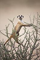 Meerkat (Suricata suricatta) on lookout, Kgalagadi