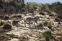 Leopard (Panthera pardus) mother walking through s