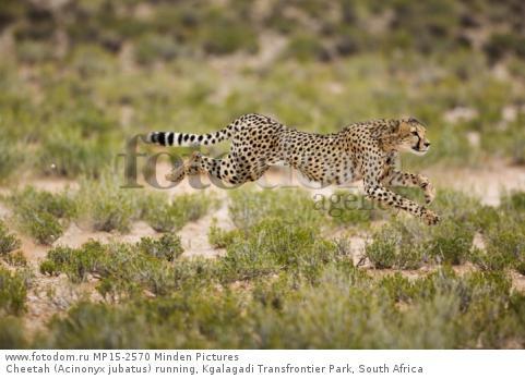 Cheetah (Acinonyx jubatus) running, Kgalagadi Transfrontier Park, South Africa